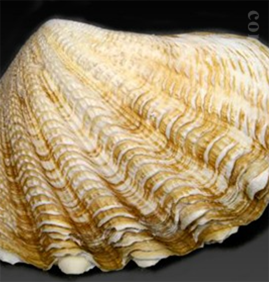 シャコガイ石